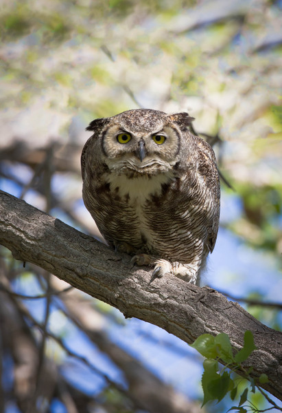 Great Horned Owl female ready for takeoff