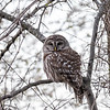 Barred-owl-12-March-2017-9422