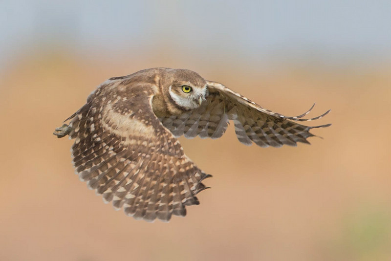 Newly fledged Burrowing Owl chick in flight.