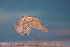 Snowy Owl just before sunset.