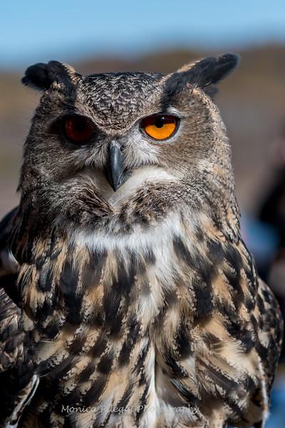Owls-12 Nov 2016-5906