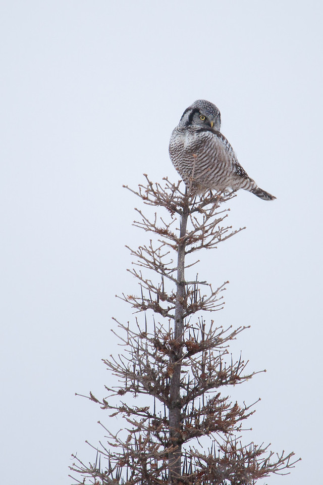 "OWL 1388<br /> <br /> ""Northern Hawk Owl on a blustery  December day""<br /> <br /> Grand Portage, MN"