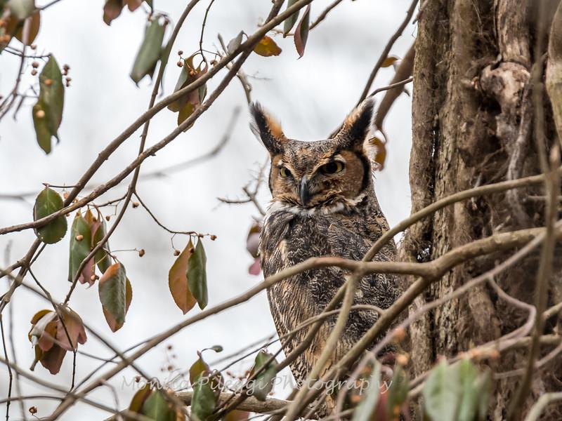 Great-Horned-Owl-5-Feb-2017-5427
