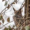 Great-Horned-Owl-5-Feb-2017-5427
