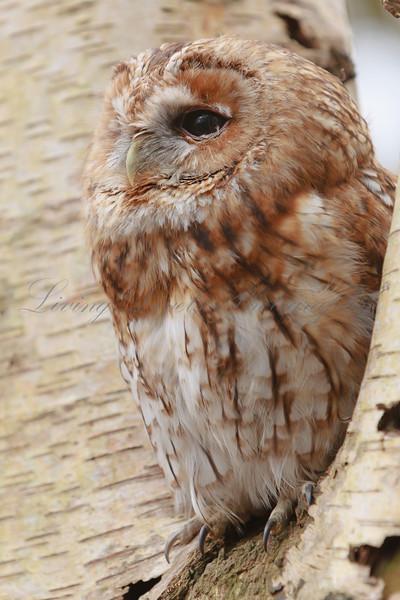Tawny Owl (Strix aluco) perched in a Birch tree