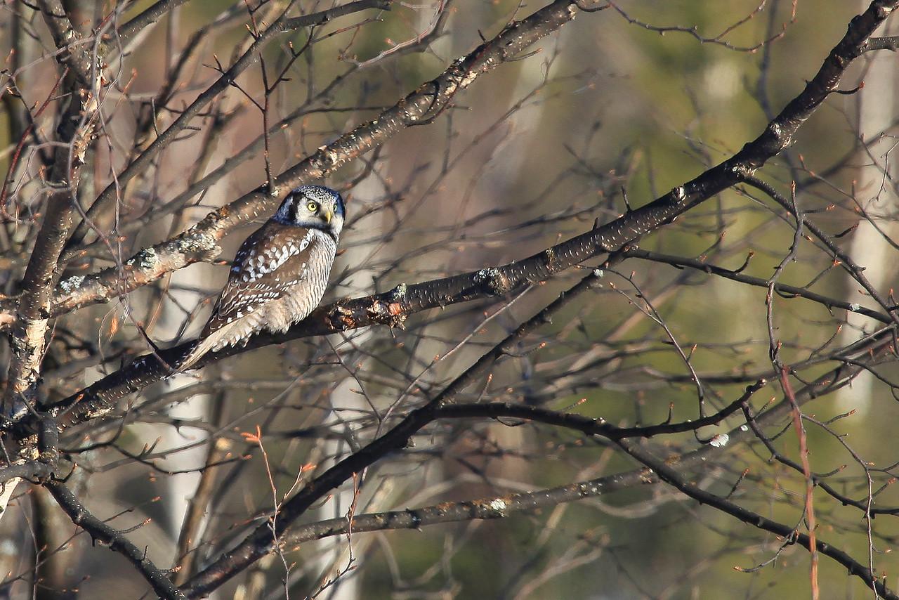 """OWL 6186<br /> <br /> """"Northern Hawk Owl""""<br /> <br /> Grand Portage, MN"""