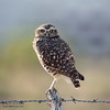 Owl On A Fence Post #2.3