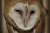 Barn Owl-young chick.