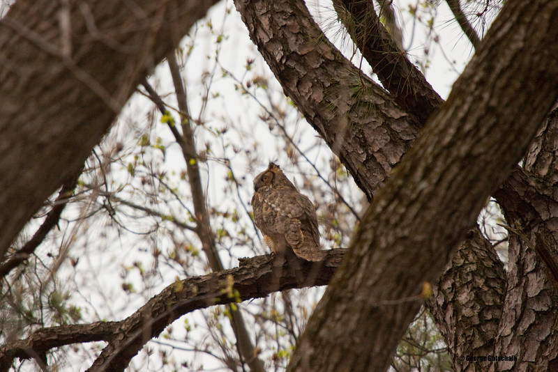 Great Horned hiding in plain sight