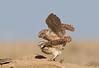 Burrowing Owls mating