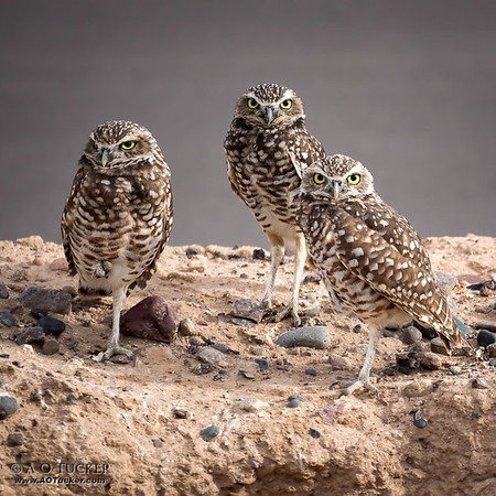 Burrowing Owl Group Photo