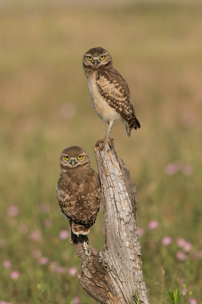 Newly fledged Burrowing Owl chicks.