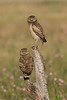 Newly fledged Burrowing Owl chicks.