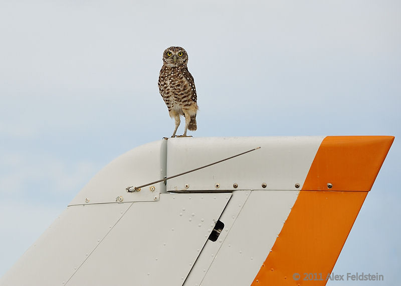 Burrowing owl, Tamiami Airport