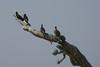 MAGNIFICENT FRIGATE BIRD - Puerto Vallarta, Mexico - Nov. 2012