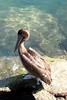 BROWN PELICAN - Cabo San Lucas, Mexico area - Nov. 2012