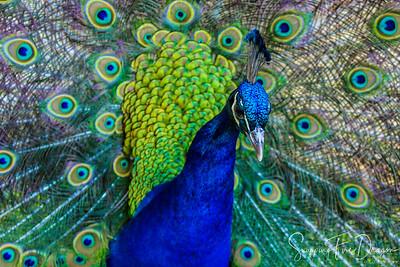The Peacocks of Scone Palace, Perth, Scotland 2018