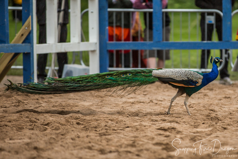 This particular peacock was brave enough to enter the list area during a medieval combat tournament without any armor. Luckily, none of the fighters harmed him and he entertained the crowd.