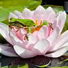 Pacific Chorus Frog in Water Lily