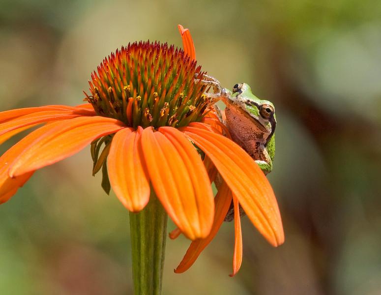 Peeking Pacific Chorus Frog