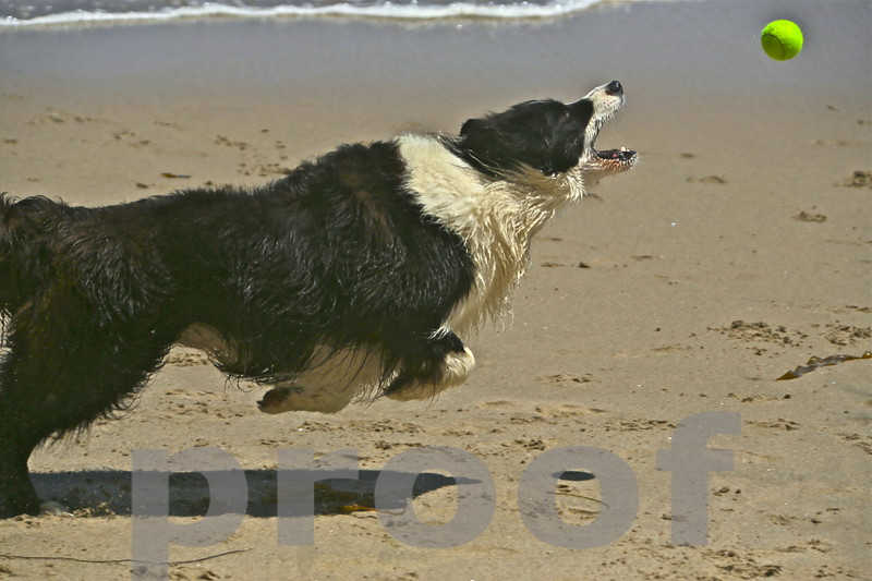 Rocky lives for the ball, Malibu Aug 2014