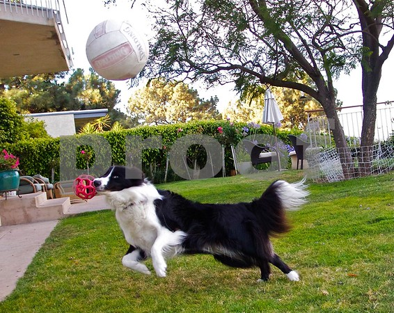 Rocky Jumps for volleyball with ball in his mouth