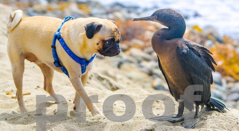 PUG AND CORMORANT BIRD, Photo #5