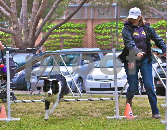 ROCKY! hurdles a jump as his owner Lynda Cohen runs alongside directing him