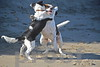 Bella the Border Collie and Pete the Walker Hound wrestle on a Malibu beach