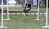 7 Year Old Border Collie Dashiell Lovendosky CDX RE HXAS HIBS OA OAJ shows his incredible leaping ability
