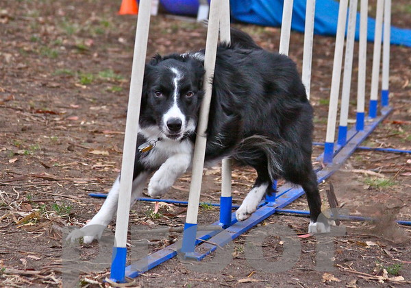7 year old Border Collie Dashiell Lovendosky in action!