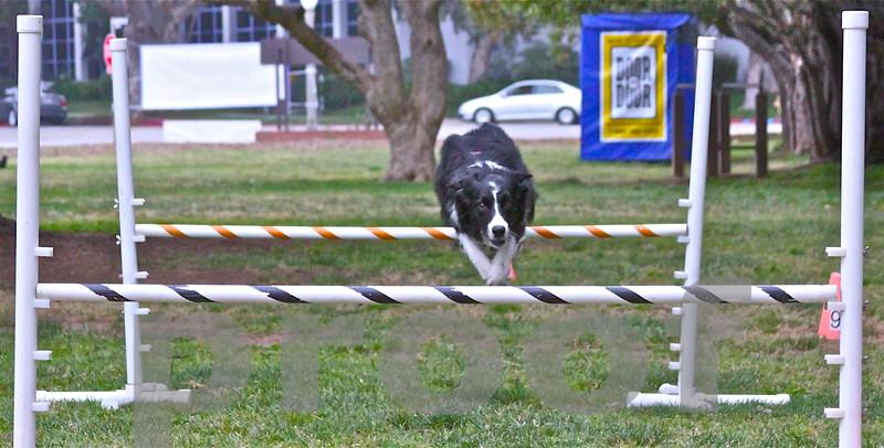 Dashiell Lovendosky begins his agility course run