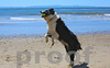 ROCKY! Catches ball on Summerland Beach, CA, 2-1/2yrs old