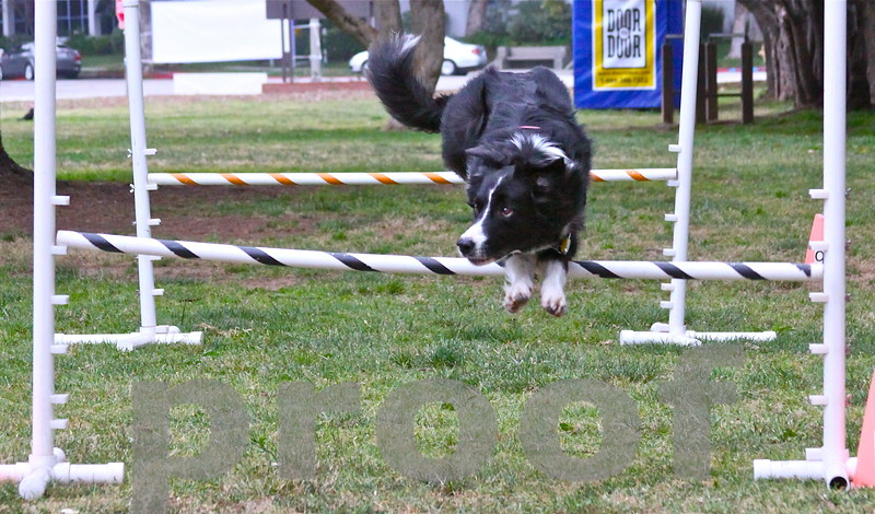 Dashiell looks towards his owner for direction in mid jump