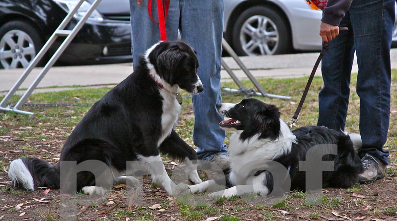 Border Collies Fallon and ROCKY! play after agility class