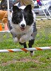 ROCKY!, 8 months old, jumps in agility class