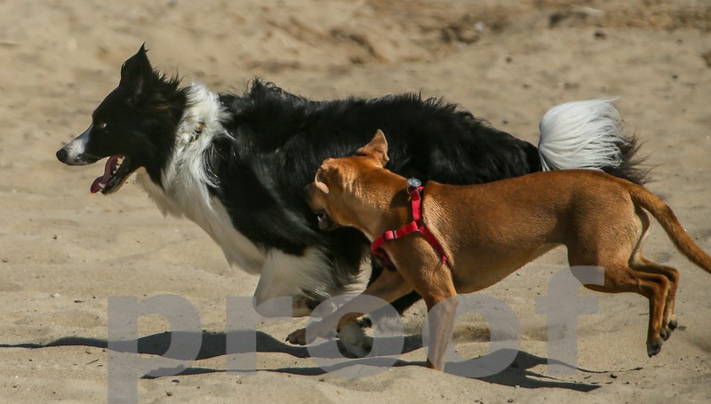 Rocky the Border Collie and friend on a Los Angeles Beach