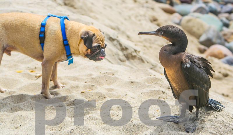 PUG AND CORMORANT BIRD SHOW CURIOSITY, Photo #2