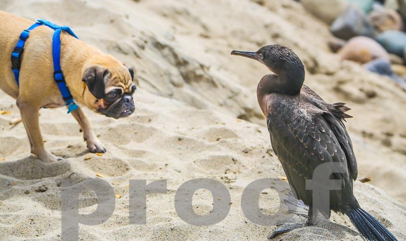 PUG STALKS A CORMORANT BIRD, Photo #1, TOPANGA BEACH, CA.  SEPT 2012