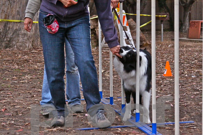 """ROCKY! gets a treat to help teach him that he """"did good!"""" learning the slalom poles"""