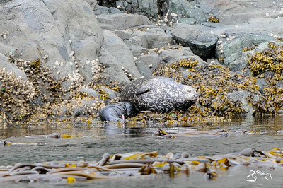 Pacific Harbour Seal mother nursing her newborn pup