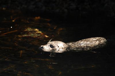DSC_6695 - Pacific harbour seal