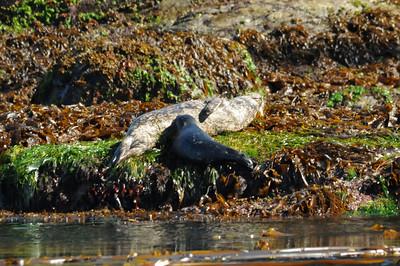 DSC_3138 - Pacific harbour seal nursing