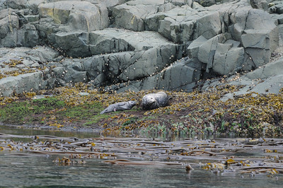 untitled-5309 - This Pacific harbour seal is so newborn that you can still see part of the umbilical cord. Photo telephoto and very much cropped.