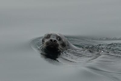 DSC_7943 - Pacific harbour seal
