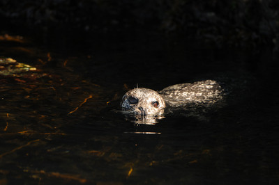 DSC_6690 - Pacific harbour seal