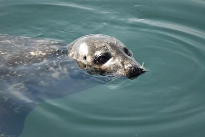 DSC_1256 - Pacific harbour seal