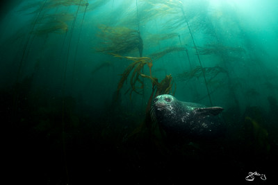 Pacific Harbour Seal emerging from a Bull Kelp forest.