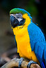 Beautiful Blue-and-yellow Macaw at the Palm Beach Zoo