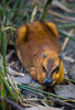 Malayan Chevrotain sitting in the tall grass at the Palm Beach Zoo